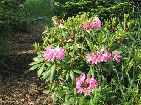 Colorful photos of the Rhododendron flowers | BOOMSbeat