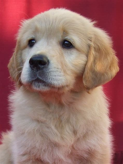 Golden retriever kölyök portrék - Strawberry Goldens Kennel