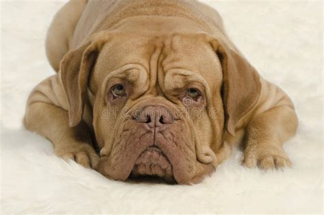 Attentive Wrinkled Dog Looking At Camera Stock Photo