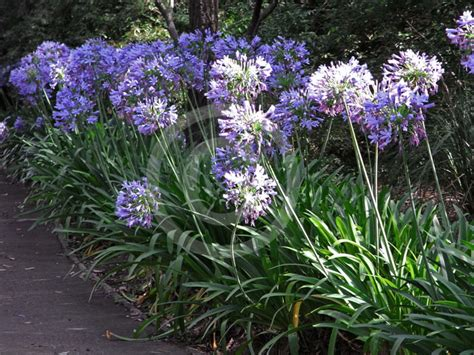 Agapanthus praecox | Lily of the Nile, Blue African Lily