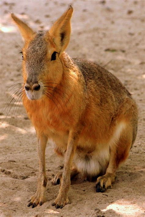 Patagonian Cavy - Montgomery Zoo | This is one of those